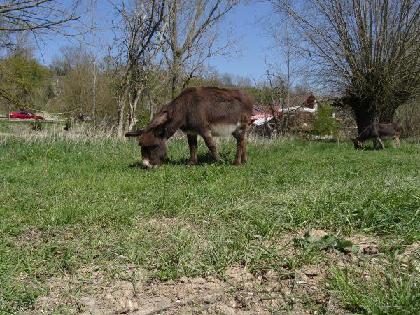 Esel auf der Wiese bei Nägelstedt